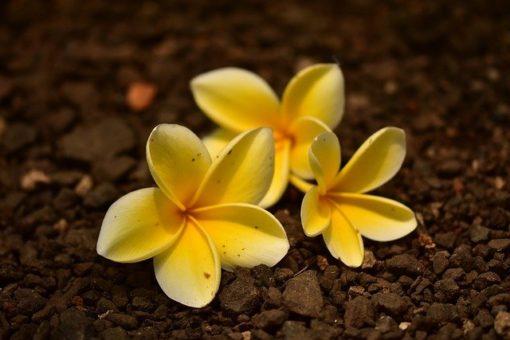 Fleur Tiare